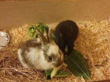 - Azərbaycan: İki ədəd dovşan.her bir şeyi ile satılır.30 manata