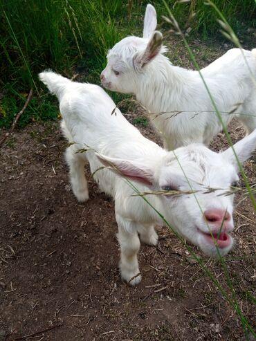 Животные - Бает: Козлята (мальчики 2 шт)молочной породы. Мама первокотка дает стабильно