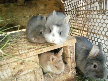 Продаю декоративных карликовых кроликов! 3 штучки, пушистика! на фото  в Бишкек