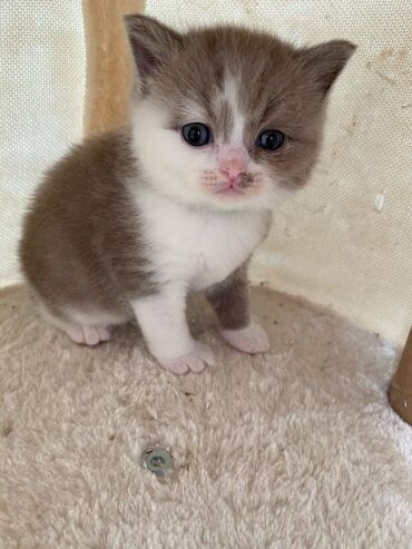 Βρετανικά γατάκια Shorthair προς πώληση Πανέμορφο γενεαλογικό κρέμα βρ