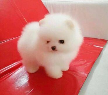 Kućni ljubimci - Srbija: Pomeranian štěňataRoztomilá špiclská štěňata pro navráceníkrásný pes a