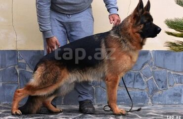 tesbeh - Azərbaycan: Alman ovcarkasi axdariram barter etmek ucun gumus tesbeh ve gumus