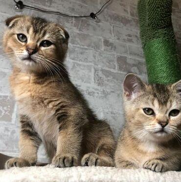 Животные - Тюп: Котята редкой породы Манчкин скоттиш Килт с длинными лапками, с