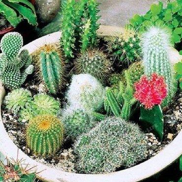 Semena | Arandjelovac: Retke vrste kaktusa Cena 550 /50 semenki