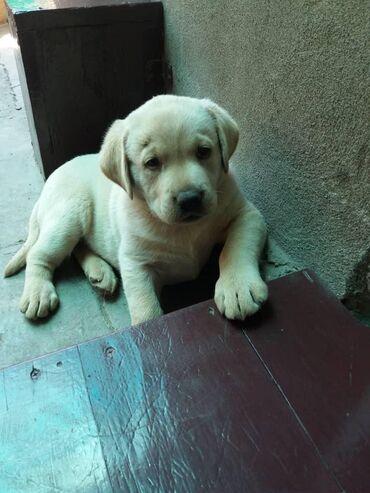 Продаются щенки лабрадор-ретривер 10 июля будет 2 месяца