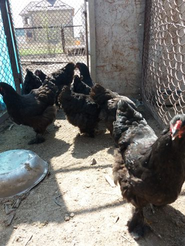 Инкубациие яйца брама чорная в Бишкек