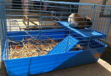 Морские свинки - Кыргызстан: Продаю морскую свинку мальчик розетку вместе с клеткой.клетка как