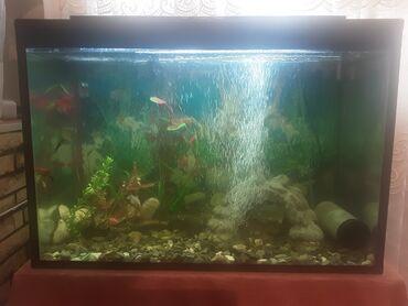 130 litirlik 6 liq suseden akvariuym 22 baliq,filter,isiq,fon