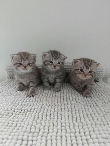Prodaju se britanski dugodlaki mačići Imamo zapanjujuće leglo srebrne