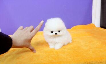Pomeranian κουτάβιαPomeranian κουτάβια προς πώληση όλα ψάχνουν για