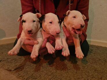 Αγγλικά Bull Terrier κουτάβια για υιοθεσίαWhatsApp μου +33 Αγγλικά