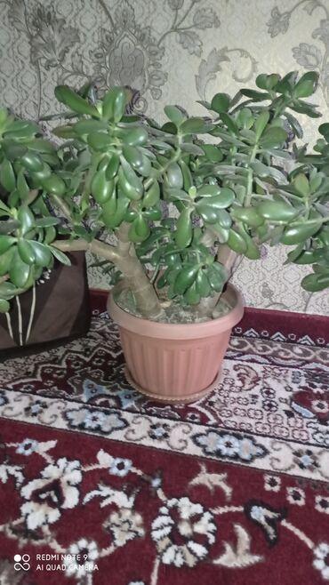 Комнатные растения - Узген: Гулдор сатылат Озгон Мырза Аке