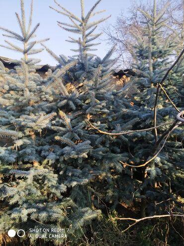 Ат касилка - Кыргызстан: Продаются ёлки голубая ель