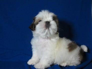 щи фей ши отбеливающий в Азербайджан: Шит-цу (Shih tzu)  Ши-тцу породные щенки из професионального питомника