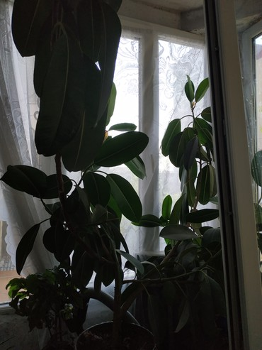 Otaq bitkiləri Sumqayıtda: Fikus