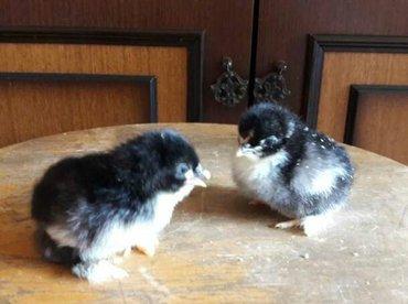 Продаю суточных цыплят черного в Лебединовка