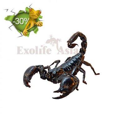 Продаю  лесного скорпиона (Heterometrus longimanus)  Цена:2000 в Бишкек