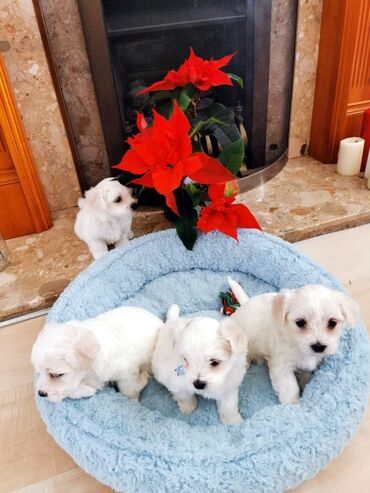 Maltese puppies for sale we have male and female Maltese puppies for
