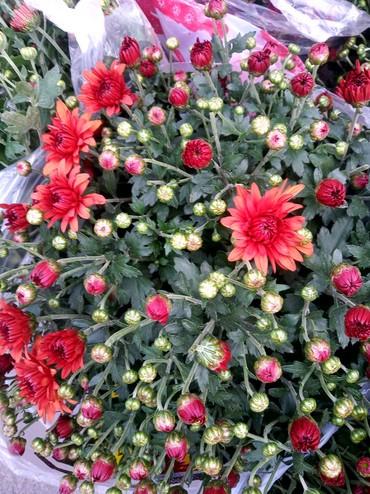 цветы-сад в Кыргызстан: Продаю цветы хризантемы для дома и сада. можно посадить в горшочек в