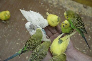 Различные цвета волнистых попугаев Всего лишь по 500 сом в Бишкек