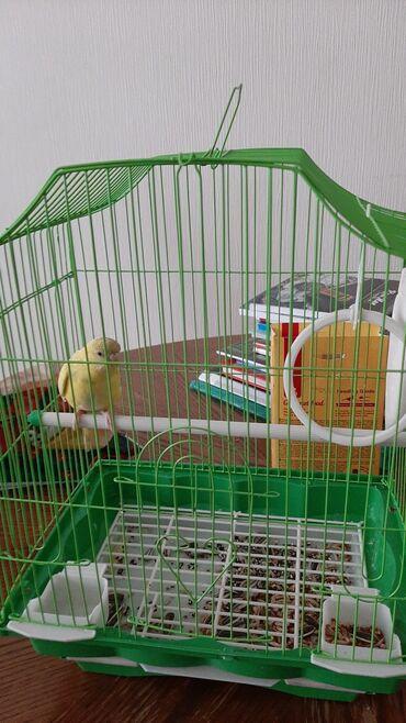 55 объявлений | ЖИВОТНЫЕ: Продаю попугайчика с клеткой всего за 700 сом с кормом