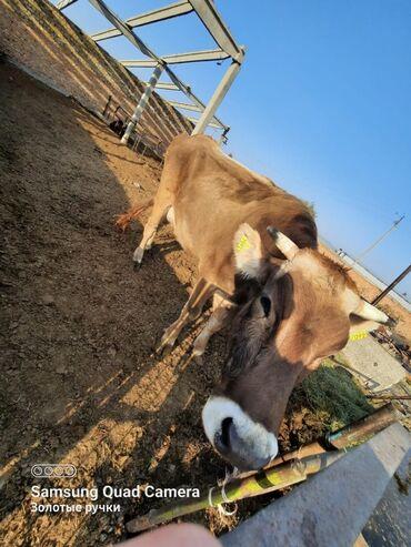 39 объявлений   ЖИВОТНЫЕ: Продаю   Корова (самка)   Швицкая   Для разведения, Для молока   Искусственник
