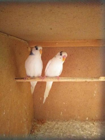 Волнистые попугайчики в Бишкек