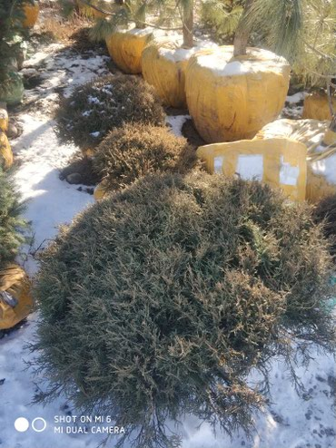 Арча горная шаравидная по самым низким ценам в Бишкек