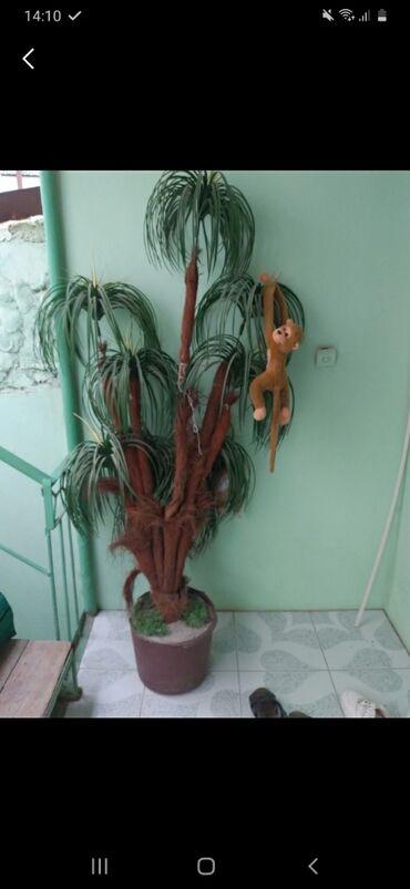 Palma ağaci eve siğmadiği ucun satiram. Alana ustunde 2 meymun hediyye