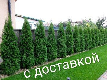Туяколоновидный. рост от 1,5 до 3,2 метров доставка по городу
