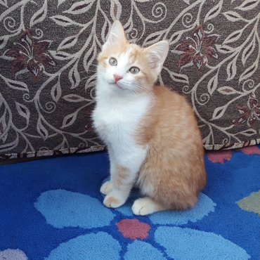 Котенок мальчик 3,5 мес ищет дом и заботливые руки. К лотку приучен на в Бишкек