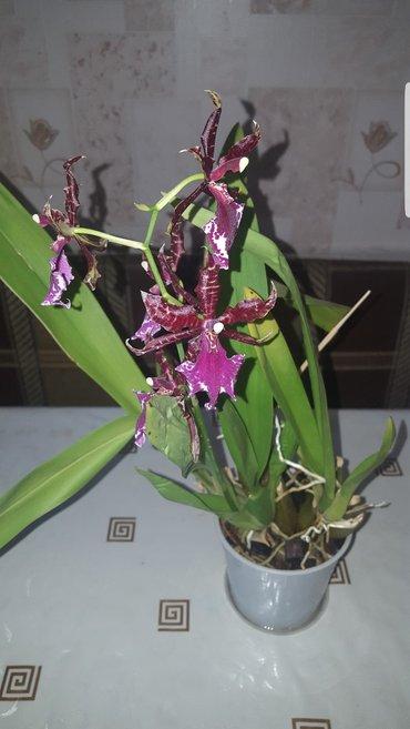 Продаю цветущую Камбрию в Бишкек