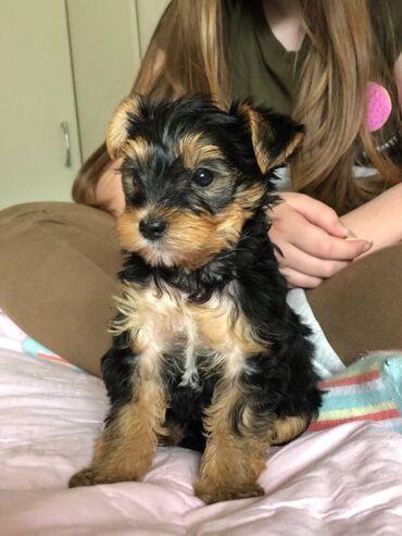 Κουτάβια Yorkshire TerrierΚορίτσια και αγόρια διαθέσιμα. Έχουν