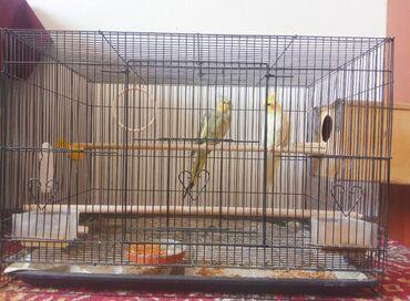Продаются попугаи Кареллы мальчик и девочка, город Шопоков