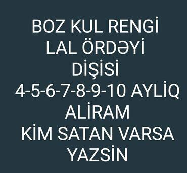 lal - Azərbaycan: BOZ KUL RENGI DIŞISI LAL ORDEYI ALIRAM WHATSAPP YAZA BILERSIZ