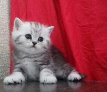 шотландская прямоухая в Азербайджан: На продаже шотландские прямоухие и вислоухие котята эксклюзивного