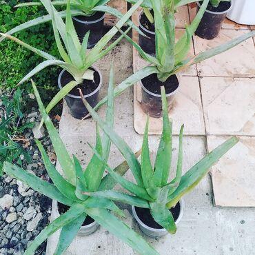 Aloe vera stili 1 ədədi 5 azn