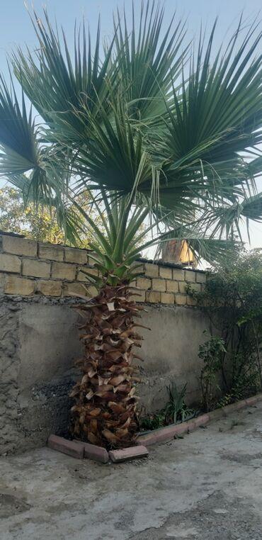 Otaq bitkiləri - Azərbaycan: Palma