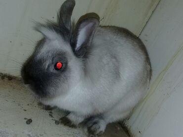 Декоративные кролики - Кыргызстан: Продаю декоративную крольчиху Вместе с клеткой,(двух этажная) для