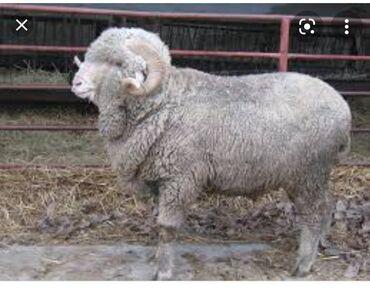 Животные - Кара-Кульджа: Бараны, овцы