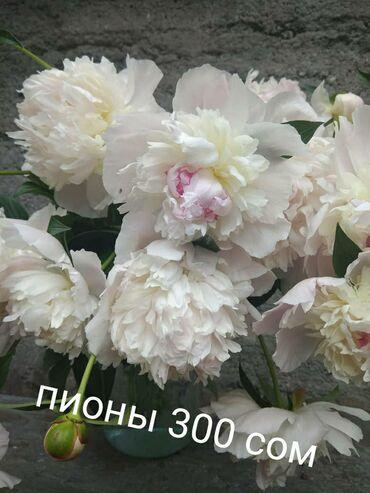 Все для дома и сада - Сокулук: Продаю корни пионов! На весну!