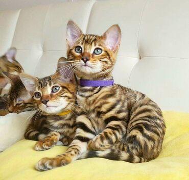 Όμορφα γατάκια Toyger Όμορφα σκουπίδια κοριτσιών Toyger με υπέροχο χρώ