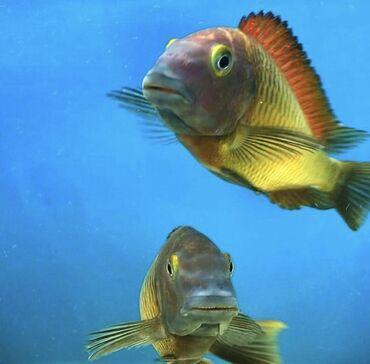 bir günlük kirayə evlər in Azərbaycan   GÜNLÜK KIRAYƏ MƏNZILLƏR: Tropheus İlangi Yellow F1 balalar saf qan balıqlardır tam sağlam