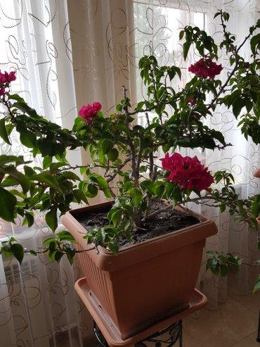 Продаётся БУГЕНВИЛЛЕЯ. Растениям десять лет. Цена договорная. в Бишкек