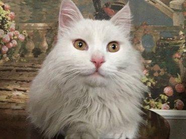 Пропал белый пушистый кот в районе в Бишкек