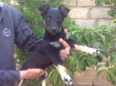 Продается щенок карликовый пинчер ( кобель ).д/р. цена 250.манатА