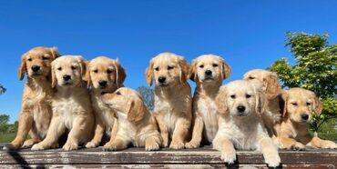 Πωλείται κουτάβι Golden Retriever Τα κουτάβια εμβολιάζονται, μικροτσίπ