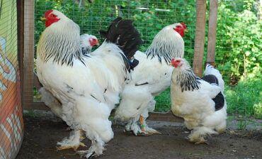 Продаю | Цыплята | Брама | Для разведения