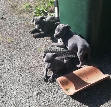 Blue Staffordshire Bull Terrier κουτάβια Τα οικογενειακά κατοικίδια ζ