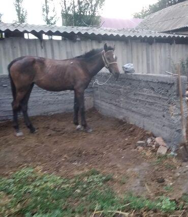 Животные - Кара-Балта: Срочно срочно продаю